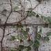 Garden Inventory: Ficus repans - 03