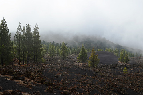 Bruma, pines and lava at Chinyero, Tenerife