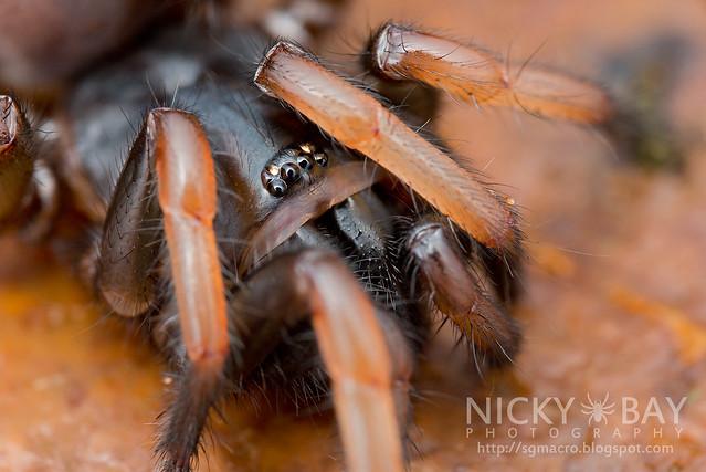 Tube Trapdoor Spider (Nemesiidae) - ESC_0219