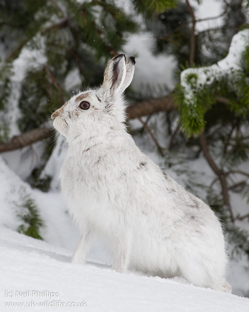 Mountain Hare Lepus timidus-5