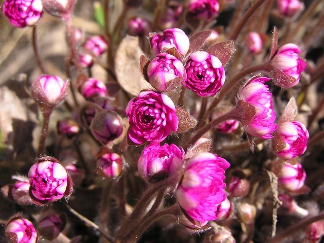 Hepatica nobilis garden cultivar