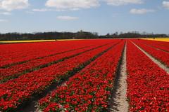 Tulip Fields, Keukenhof, Lisse
