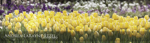 park panorama white flower green nature floral yellow garden landscape spring flora nikon midwest purple tulips blossom ks panoramic tulip bloom kansas tuliptime bud topeka springtime gagepark d5000 andrealarayneetzel
