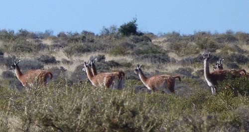 Guanacos en Patagonia argentina