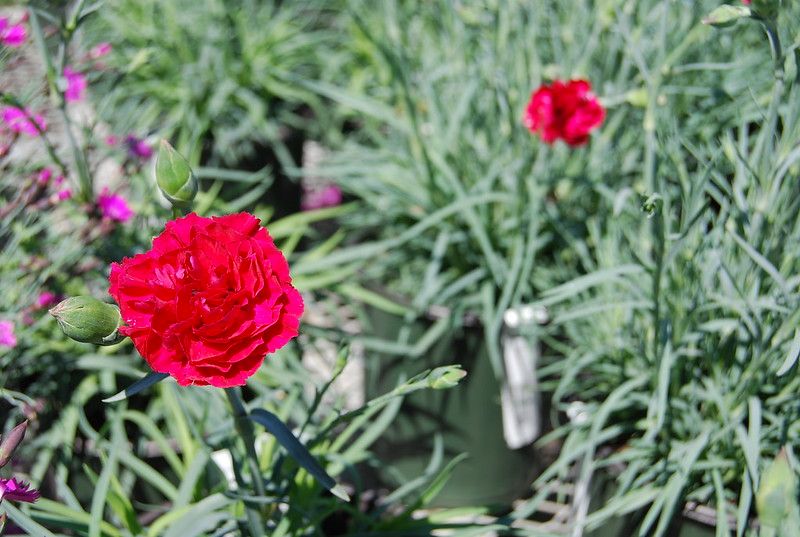 DIANTHUS RUBY TUESDAY