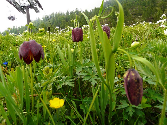 Fritillaire pintade=Fritillaria meleagris - Col de Sampeyre Italie