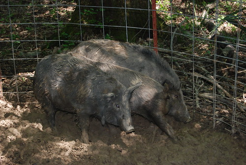 Feral swine are not native to the United States. They are a cross between feral domestic swine introduced by Spanish explorers in the 1500s and the Eurasian boar. (Dana Johnson, USDA-APHIS)