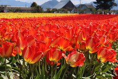 Tulip Town, Mount Vernon, Washington