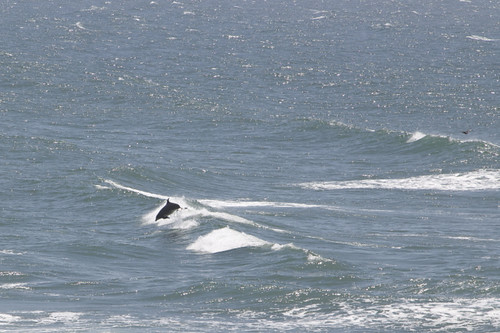 Dolphin off The Cliff House