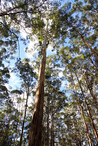 Pemberton - Gloucester Tree - Tall Karris