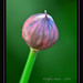 Allium II by JeffreyHecker.com