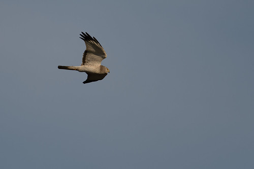 Northern Harrier-40061.jpg