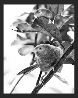 Yellow-billed Babbler (B/W)
