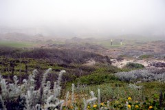 Two golfers standing on a green in the distance, fog, Gray-green Beach Sagewort, Artemesia pycnocephala, Asilomar state park, sand dunes, Pacific Grove, California, USA