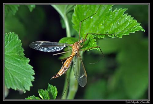 Tipula lunata femelle