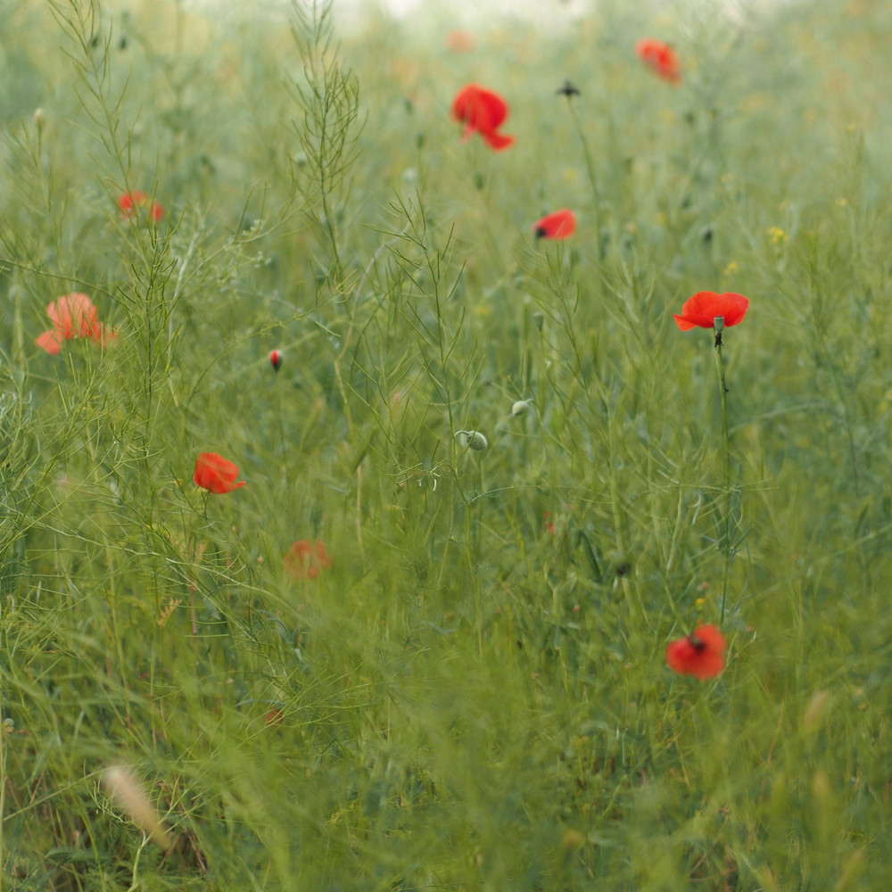 Cappadocia - poppies, Meskendirçayi