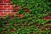 Ivy on Red Brick