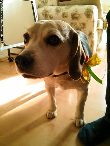 Schleifenhund