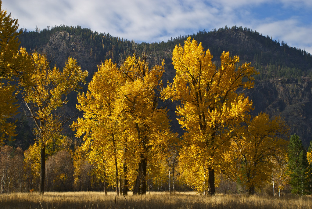 Black Cottonwoods in Autumn