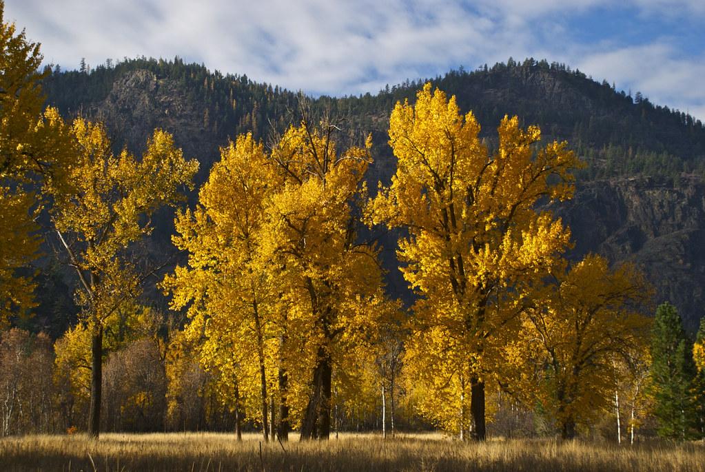 Black Cottonwoods in Autumn