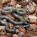 Regal Ringneck Snake by Matt Buckingham