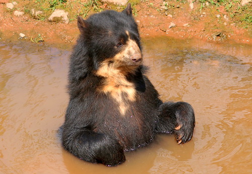 Picture of a bear in water