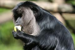 animal, western gorilla, monkey, zoo, mammal, fauna, old world monkey, new world monkey, ape, wildlife,