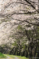Sakura 2013