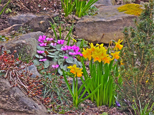 From the Back Door,---0ºC on the Rockery, 3rd April.   ..........(93/365) by Irene_A_