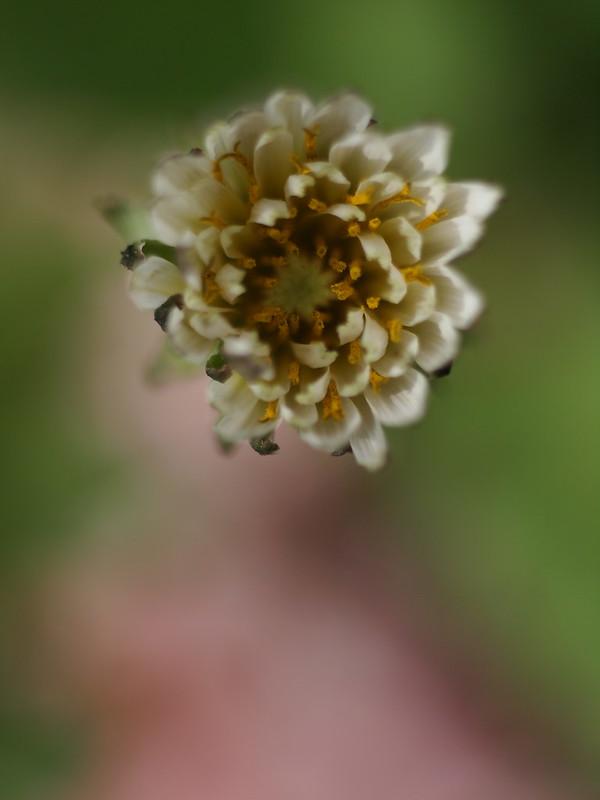 Shirobana-Tanpopo, White Dandelion