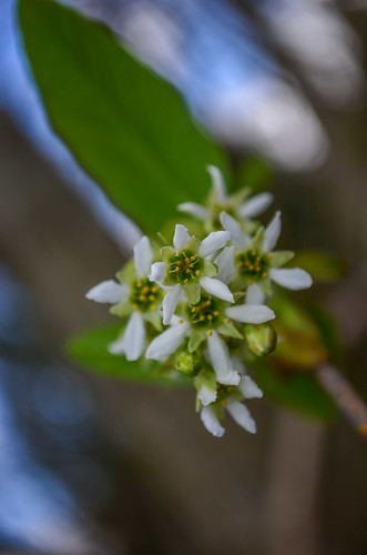 <p><i>Oemleria cerasiformis</i>, Rosaceae<br /> Burnaby Lake Park, Burnaby, British Columbia, Canada<br /> Nikon D5100, 18-55 mm f/3.5-5.6<br /> March 23, 2013</p>