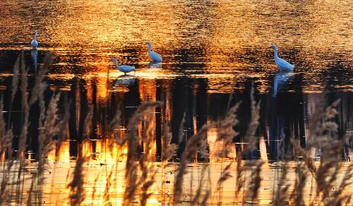 sunset birds md wildlife maryland northbeach egret chesapeakebay calvertcounty