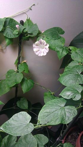 Q1152 Ipomoea purpurea by Gerris2