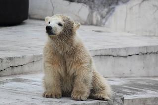 White bear? / シロクマ?