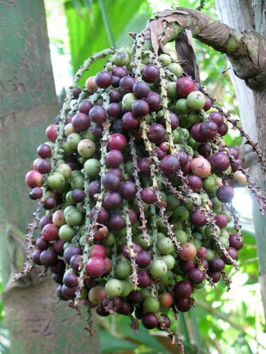 Fishtail Palm Fruit