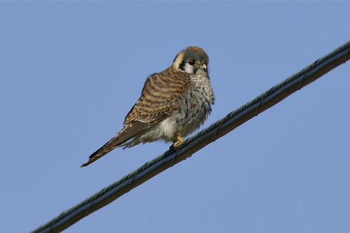 American Kestrel (female), Hadley, MA by Janaswamy