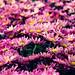 spring flowers [2/6] by Aisha Al-Qahtani