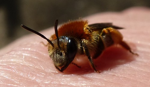 Tawny Mining Bee by Linda Yarrow