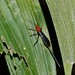 Small photo of Red-headed Braconid Wasp (Braconidae)