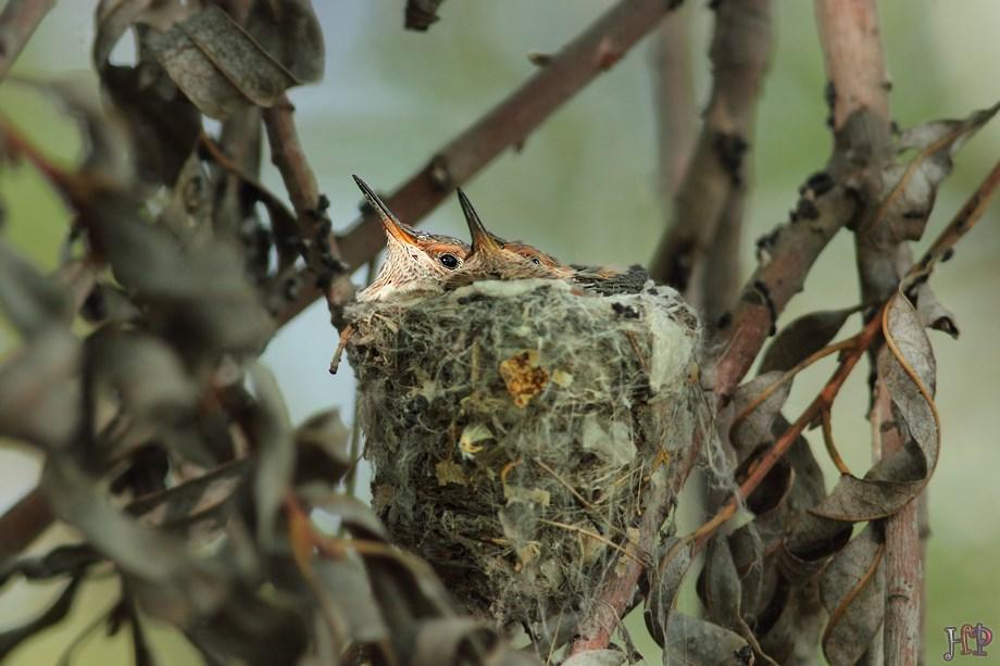 Allen's Hummingbird nest 042513