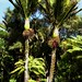 Nikau Palm - Photo (c) The Blackthorn Orphans, some rights reserved (CC BY-NC-ND)