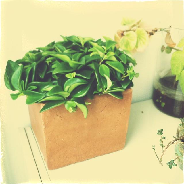 plante grasse morganours