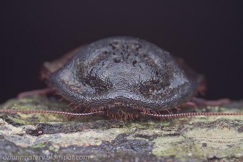 Giant roach, Corydiidae: Ergaula sp. IMG_5308 copy