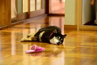 御犬様@子守り疲れ。