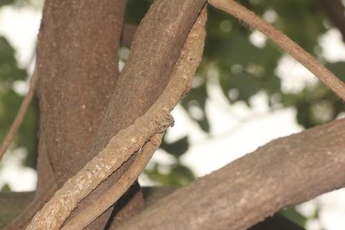藤枯れ蔓、ワモンサビカミキリ