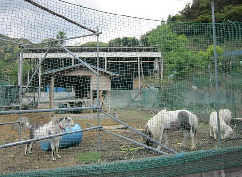 羊とポニー@くまさん牧場 2013年5月2日 by Poran111