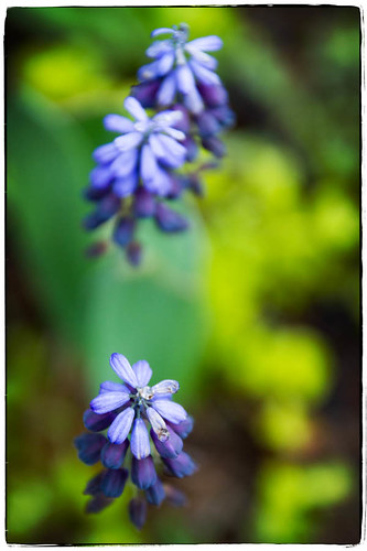 grape hyacinth by McBeth