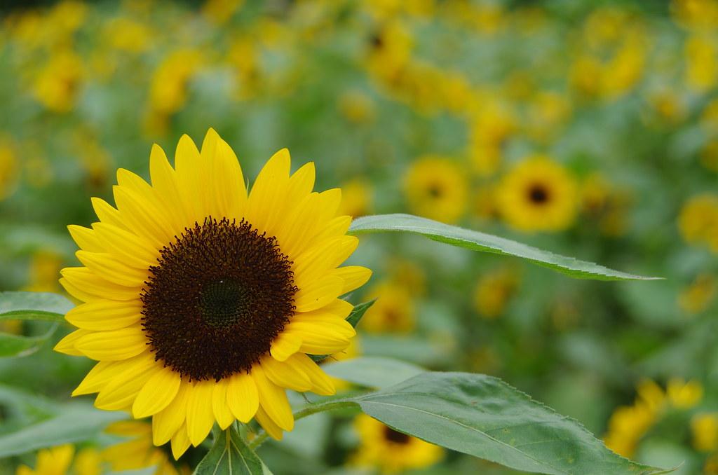 隨手拍拍  向日葵