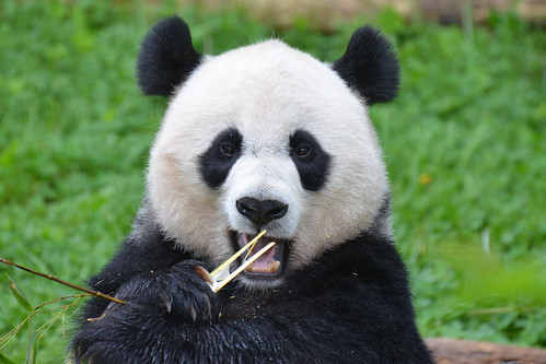 Lovely Mei Xiang