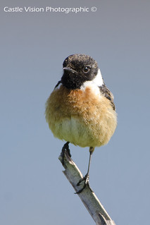 Male Stonechat (on a stick!)